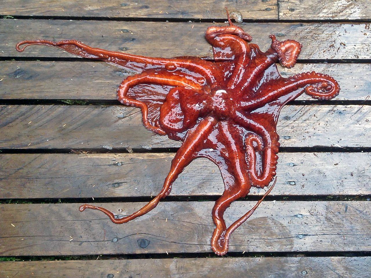 Octopus aka Tako!
