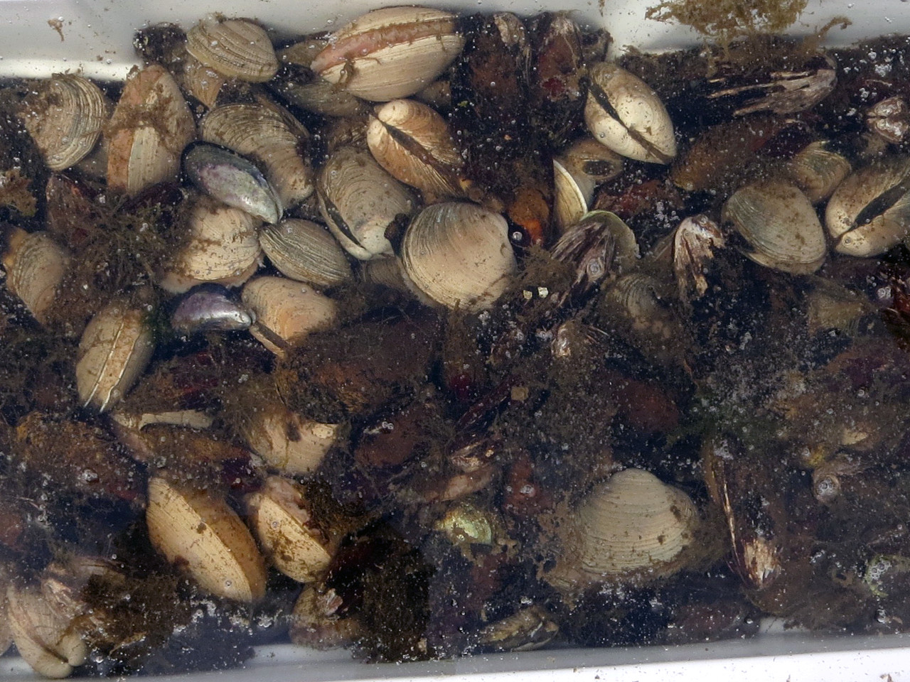 Fresh Alaskan clams, cleaning in saltwater. Alaskan Escape – Thorne Bay, AK