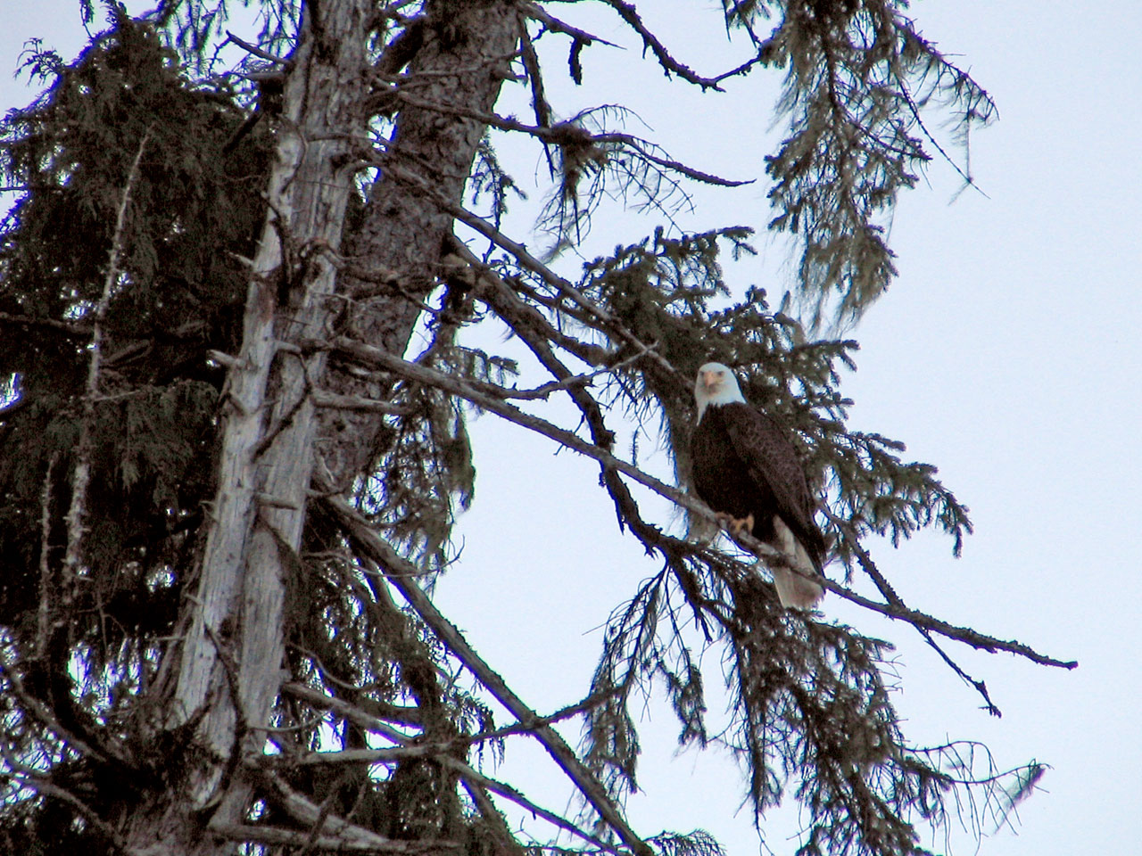 Bald Eagle at Alaskan Escape